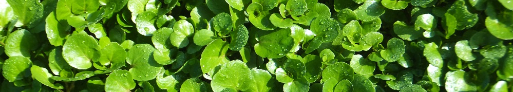Hairspring Watercress
